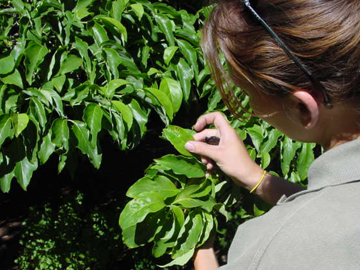 A woman inspecting plant leaves